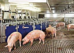 Скотобойня для свиней и свиноматок